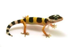 800px-Juvenile-leopard-gecko